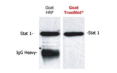 TrueBlot® For Immunoprecipitation, Western Blot and IP Western Blot